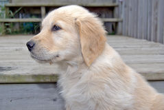 Golden retriever puppy on wooden step Royalty Free Stock Image