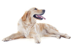 Golden retriever Royalty Free Stock Images