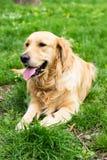 Golden retriever que aprecia no parque Fotografia de Stock Royalty Free