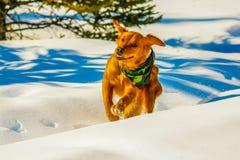 Golden retriever que corre a través de la nieve, Alberta, Canadá fotos de archivo