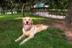 Golden retriever que descansa na grama, Qingdao Imagem de Stock