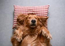 Golden retriever que encontra-se para baixo para dormir Foto de Stock