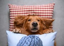 Golden retriever que encontra-se para baixo para dormir Imagens de Stock