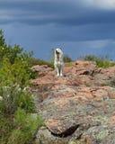 Golden retriever que está em uma vista da rocha Foto de Stock