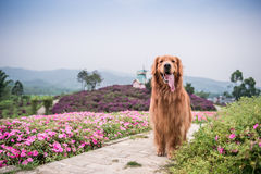 Golden retriever que joga no parque Imagem de Stock Royalty Free