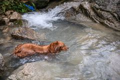Golden retriever que juega con agua en The Creek fotos de archivo