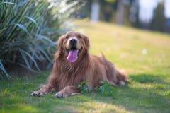 Golden retriever que juega en la hierba Imagenes de archivo