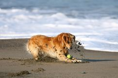 Golden retriever que juega en la playa Foto de archivo libre de regalías