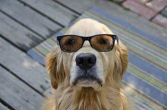 Golden retriever que lleva las gafas de sol foto de archivo libre de regalías