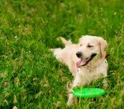 Golden retriever que mira la c?mara en parque del verano foto de archivo