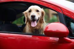 Golden retriever que olha fora da janela de carro Fotos de Stock Royalty Free