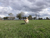 Golden retriever que ruuning no parque Imagens de Stock Royalty Free