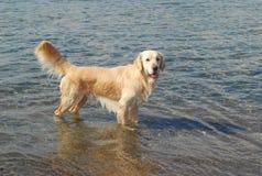 Golden retriever que se coloca en el mar Fotografía de archivo
