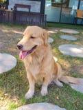 Golden retriever que se sienta en parque del perro fotos de archivo