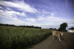 Golden retriever que va para un paseo en Michigan del oeste foto de archivo