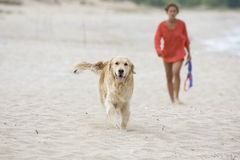 Golden retriever rambling. Golden retriever walking together with a young girl on the beach Stock Photo
