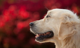 Golden Retriever with Red Bokeh Background Stock Photography