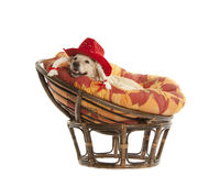 Golden Retriever in red hat Royalty Free Stock Photo