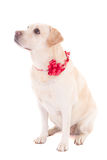 Golden retriever with red ribbon isolated on white Stock Photography