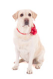 Golden retriever with red ribbon sitting  isolated on white Stock Photos