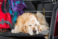Golden retriever-Reise Lizenzfreies Stockbild