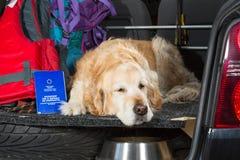 Golden retriever-Reise Lizenzfreies Stockfoto