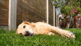 Golden retriever relaxing Stock Photos