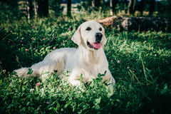 Golden retriever rest in the grass Stock Images