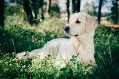 Golden retriever rest in the grass Royalty Free Stock Photo