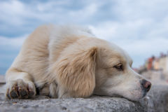 Golden Retriever rest. Golden Retriever lying on a rocky wall Royalty Free Stock Photography