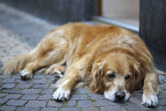 Golden retriever resting on a cobblestone pavement Royalty Free Stock Photography