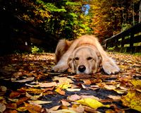 Golden Retriever resting in Fall Royalty Free Stock Image