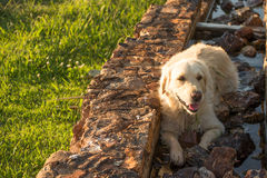 Golden Retriever Resting Royalty Free Stock Image