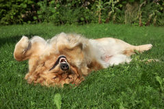 Golden Retriever resting on grass Royalty Free Stock Photo