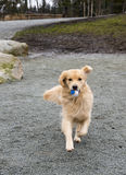 Golden Retriever. Returns a ball to his handler Royalty Free Stock Photo