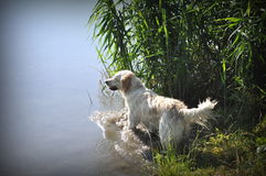 Golden retriever in the river. Golden retriever playing in the river Royalty Free Stock Image