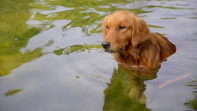 Golden Retriever in the river Royalty Free Stock Image
