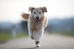 Golden Retriever on the road Stock Photo