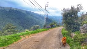 Golden retriever is the road companion everyone needs. Spotted on the road in North of Lebanon stock photo