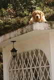 Golden retriever on the roof of a house watching the camera Royalty Free Stock Images