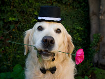 Golden Retriever with rose and top hat Royalty Free Stock Images