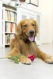 Golden Retriever and roses Stock Photos