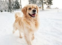 Golden retriever running. In the snow Stock Photos
