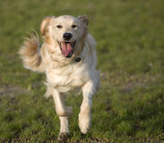 Golden Retriever Running Stock Photo
