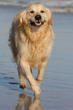Golden Retriever running along sandy beach Stock Image