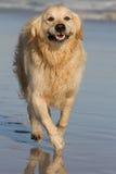 Golden Retriever running along sandy beach Stock Image