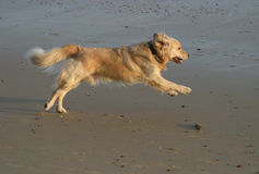 Golden Retriever running on beach stock photography