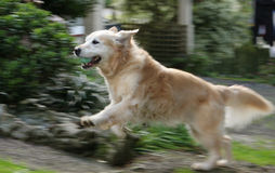Golden retriever running fast. Beautiful golden retriever dog running up the path, big smile on her face. Motion blur on her legs stock photo