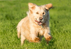 Golden Retriever Running stock photos