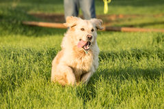 Golden Retriever Running. A female golden retriever dog runs and plays in the short green grass of autumn after the harvest as her owner throuws a tennis ball royalty free stock image